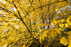 autumn leaves yellow orange trees belper