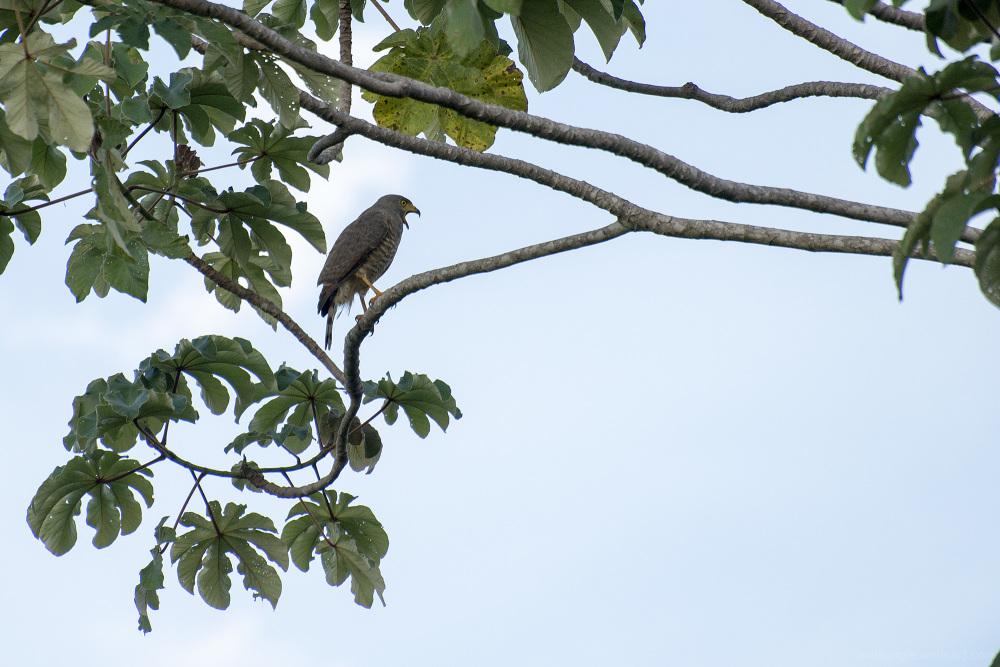 Hawk guanacaste costa rica