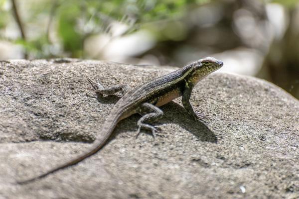 Lizard Catching the Sunlight