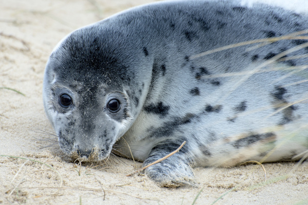 grey seal norfolk pups