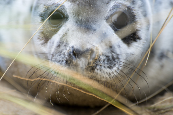 Grey Seal Close Up
