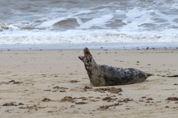 grey seal norfolk