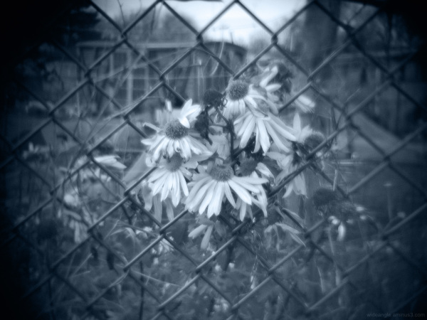 Big Daisy's Meshed in for Winter