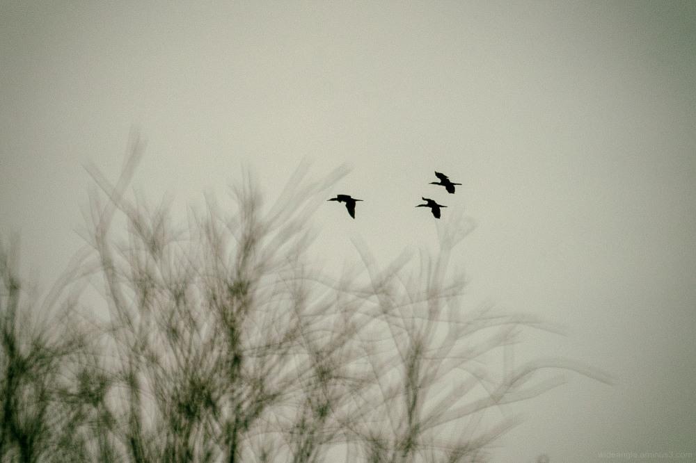 cormorants flying birdlife atteborough