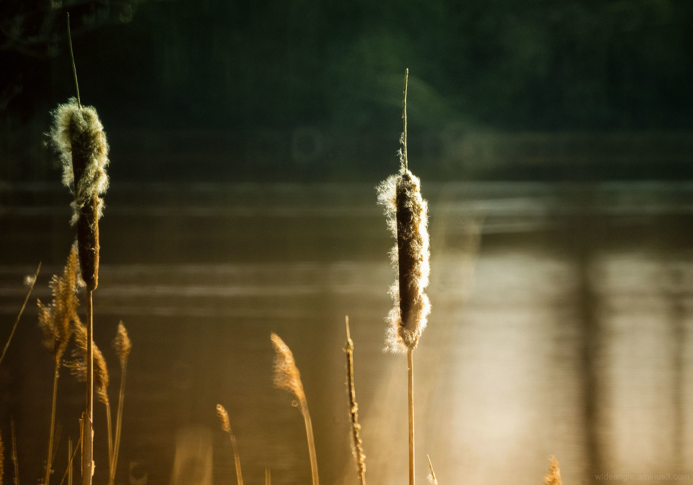 bullrushes attenborough waterside nature