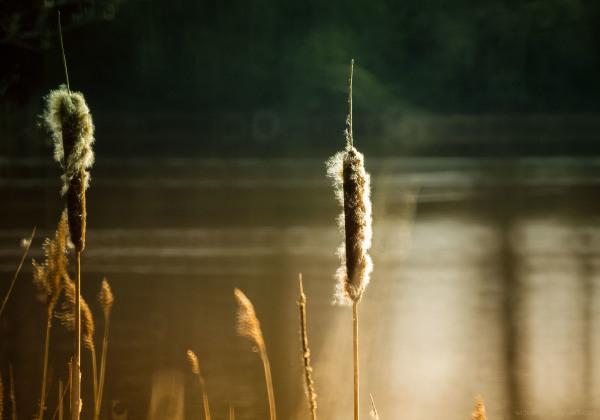 bullrushes attenborough waterside nature