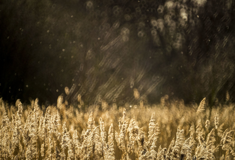 Reeds at Sunset, Attenborough