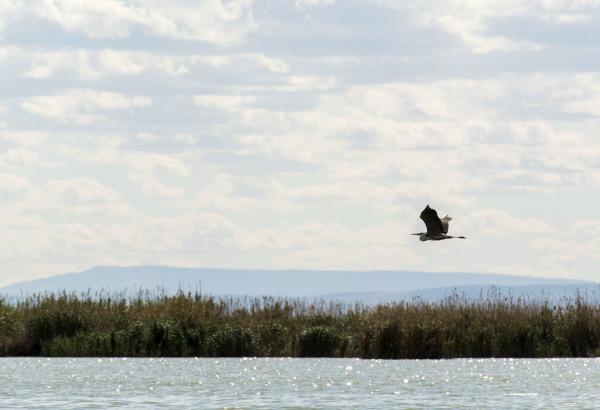heron lake albufera spain