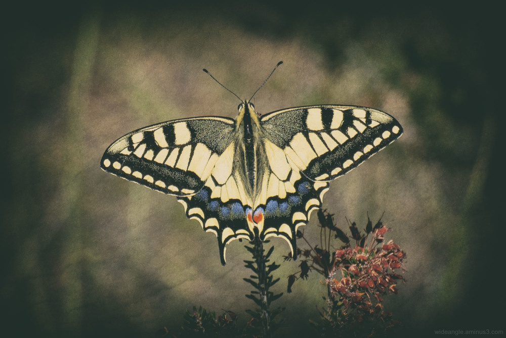 swallowtail butterfly lliria spain