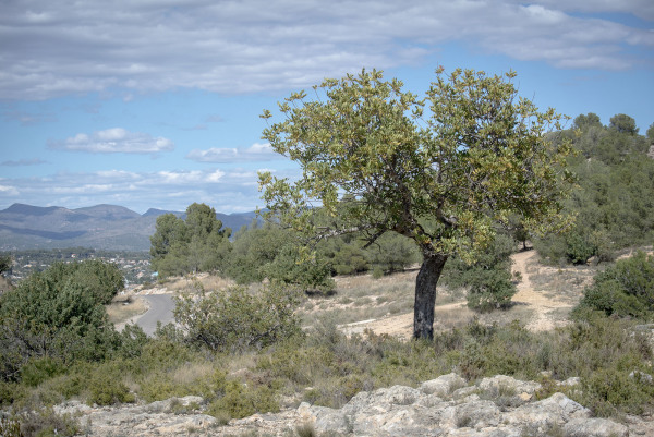 Tree, Lliria, near Valencia