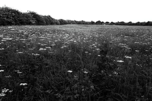 Umbellifer Field