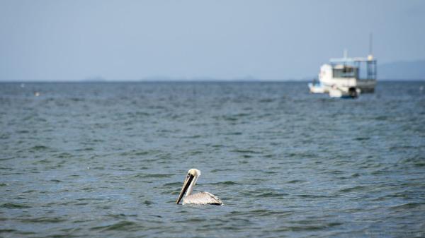 pelican costa rica pacific coast seaside