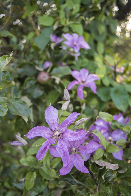 purple summer flowers england shardlow