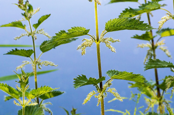 nettles stinging plant green