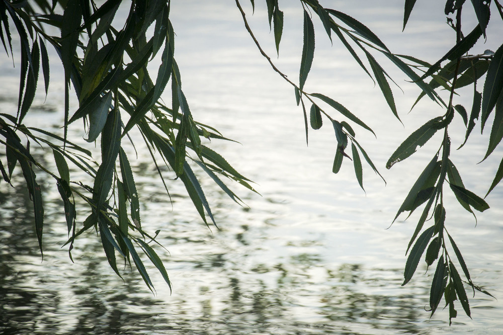 willow leaves sunshine river trent