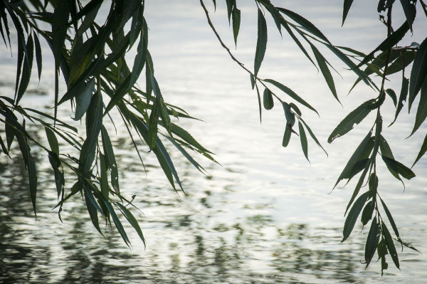 Willow Above Water