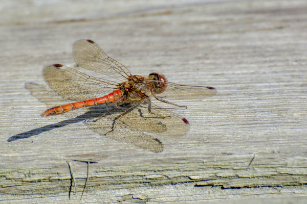 common darter dragonfly river trent shardlow