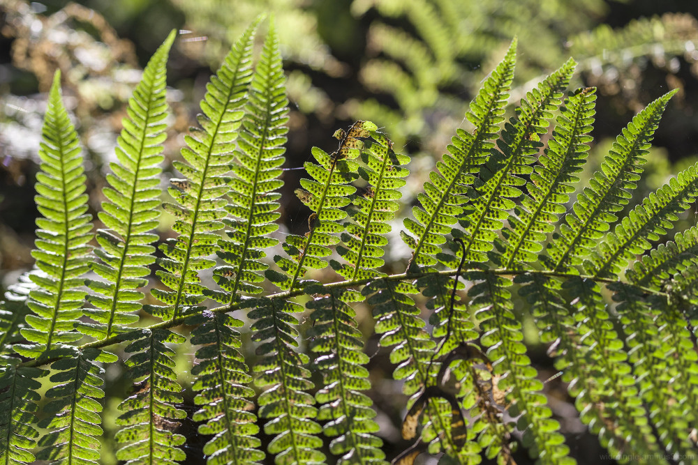 ferns woods shining cliff ambergate