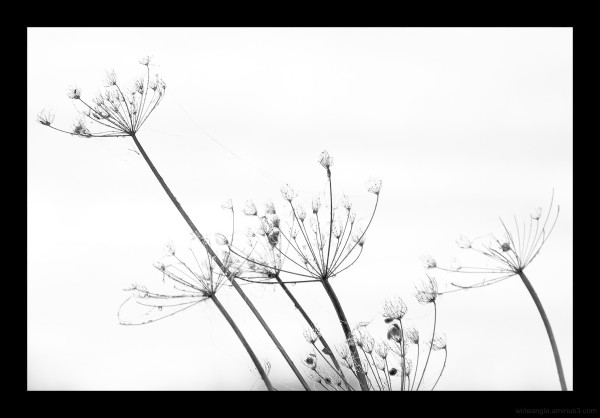 umbellifer dew plant life morning