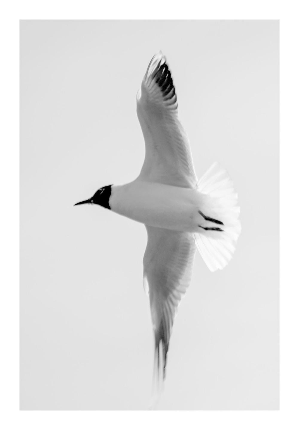 black headed gull river trent beeston