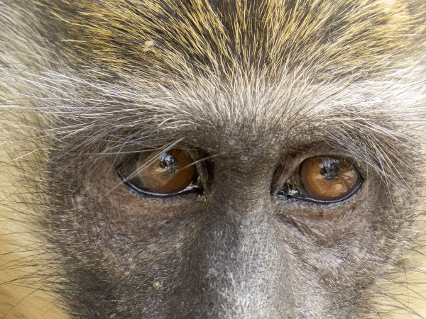 Green Vervet Monkey Eyes