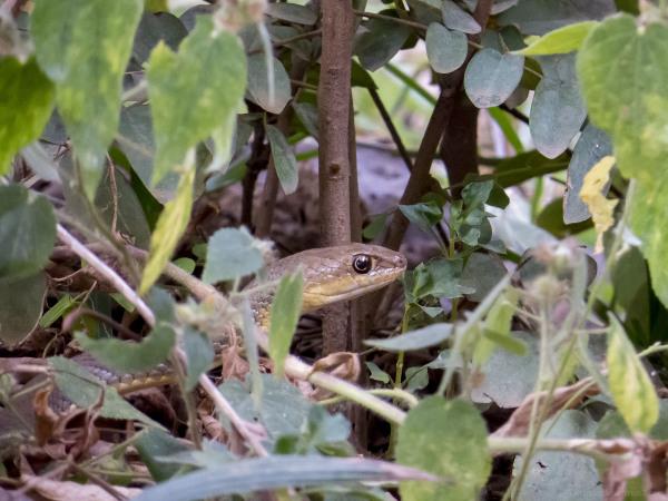 Olive Grass Sand Snake