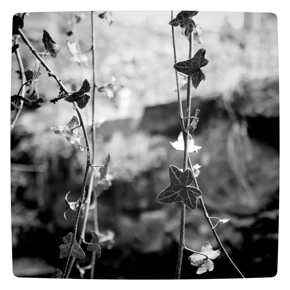 ivy leaf plants garden