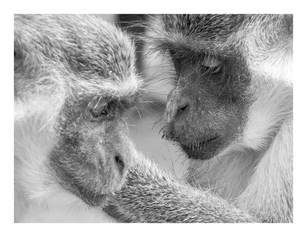 Monkey Groomers