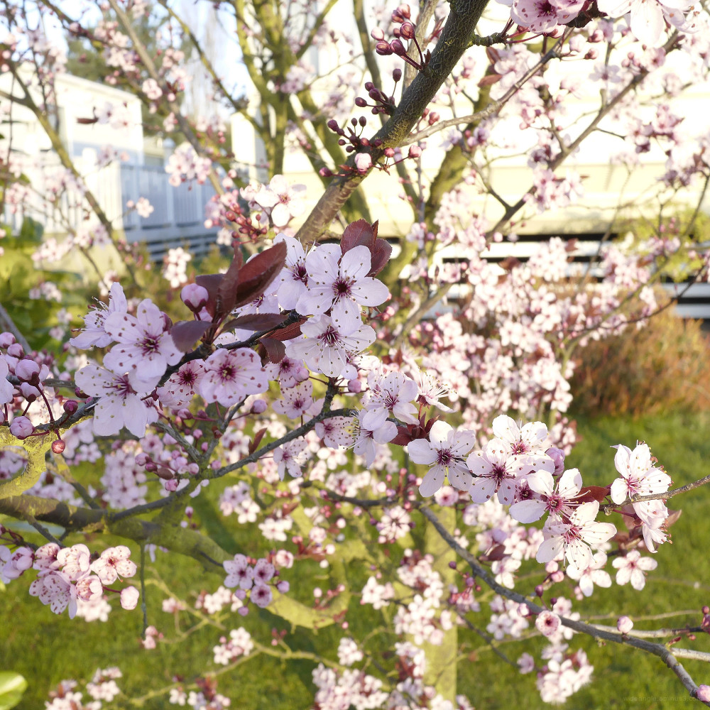 blossom cherry pink flower shardlow riot