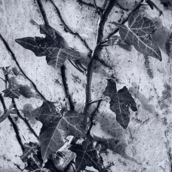 ivy leaf plants shardlow