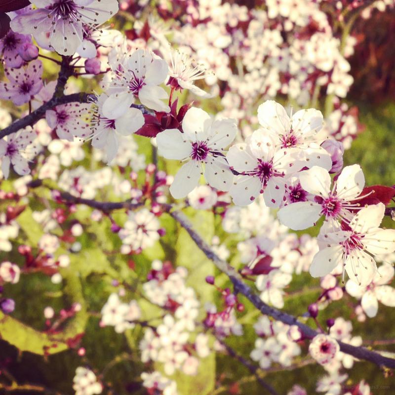 cherry blossom shardlow spring