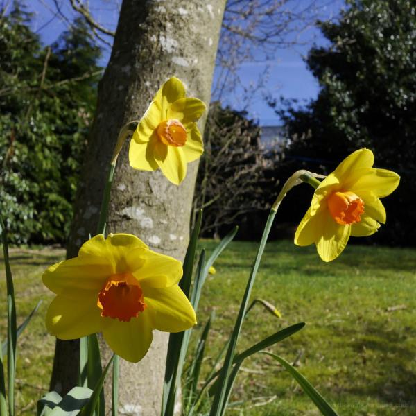 Daffodils & Garden