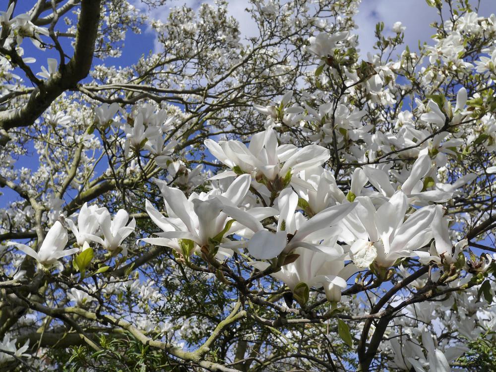 garden plants spring magnolia