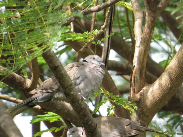 Red Eyed Dove Gambia Birds