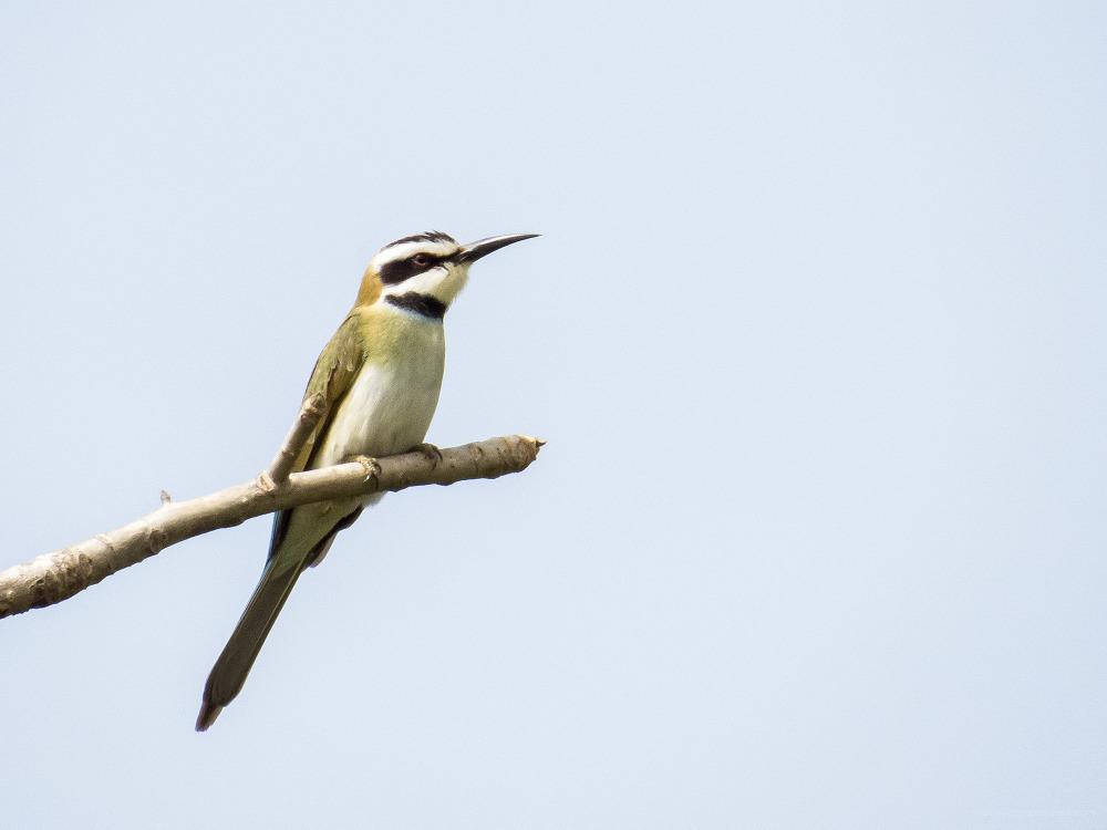 birds gambia