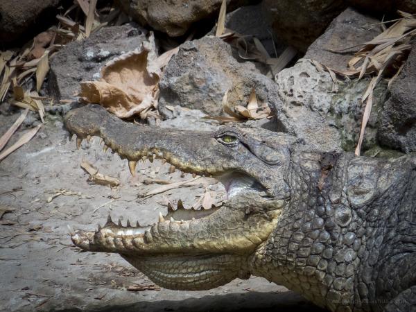 crocodiles river gambia reptiles teeth series