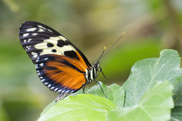 Tiger Butterfly (sp)