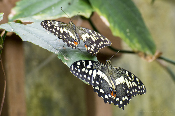 Papilio demoleus (Chequered Swallowtail)