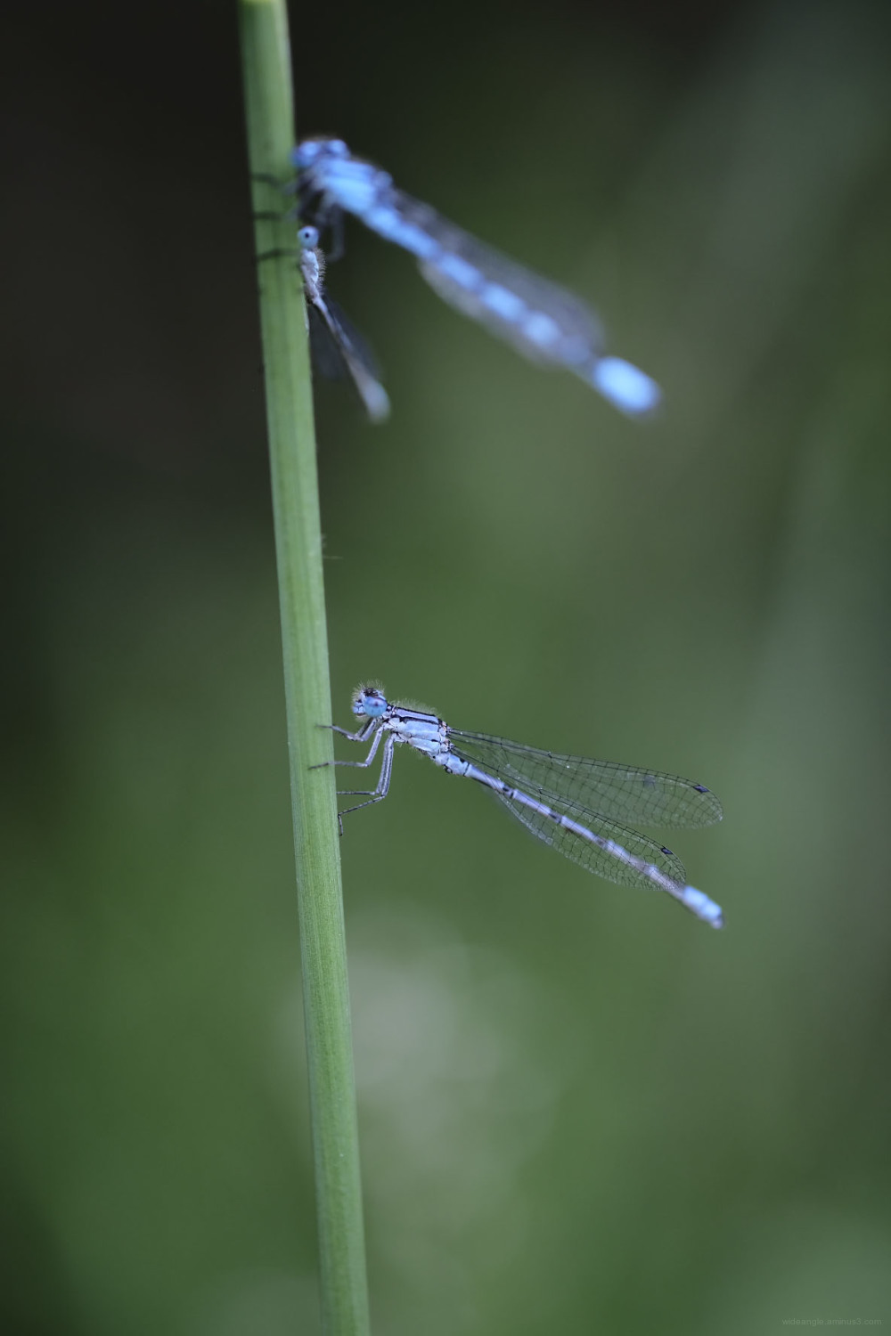 damselflies derbyshire dragonflies insects nature