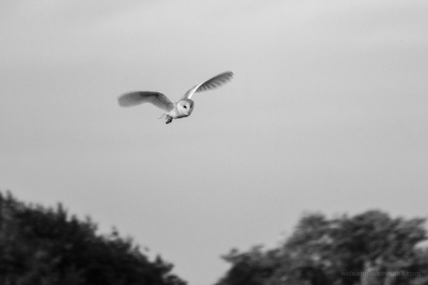 birds barn owl nature wildlife