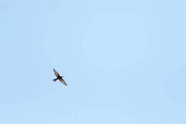 bee eater nottinghamshire rare birds