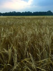 summer crops fields dusk light
