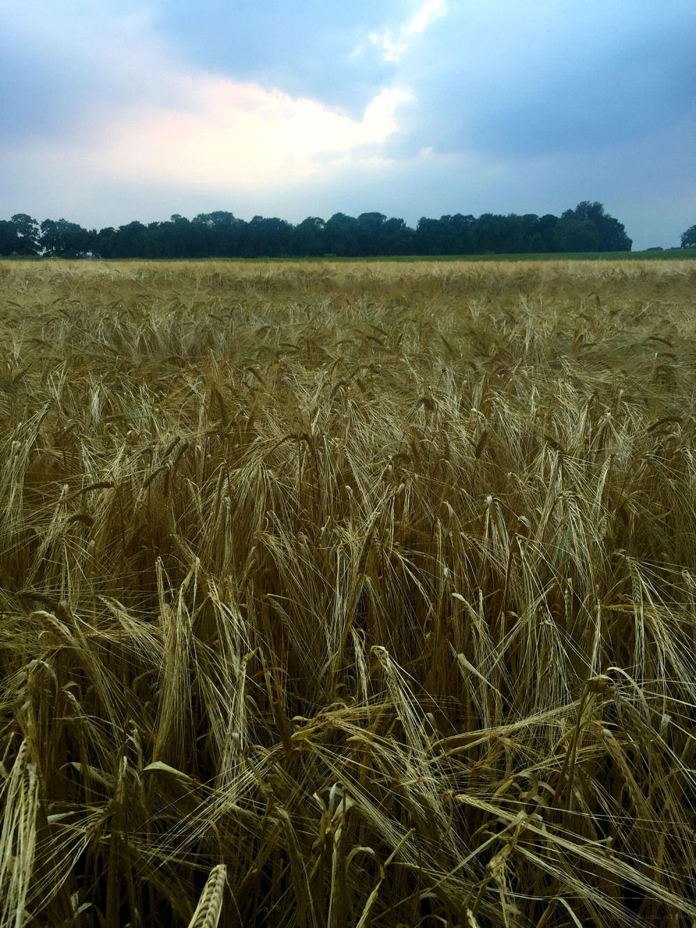 summer crops fields dusk light