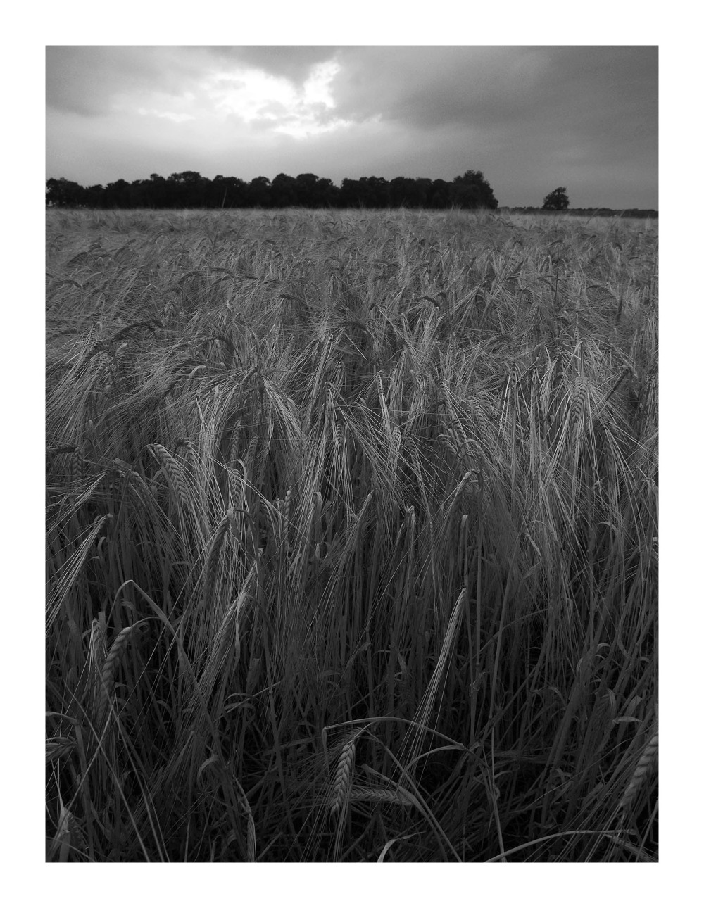 wheat fields sunset light walks shardlow