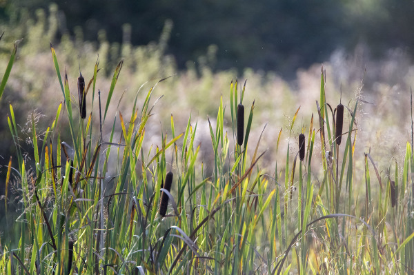 bullrushes pondlife shardlow rivers trent