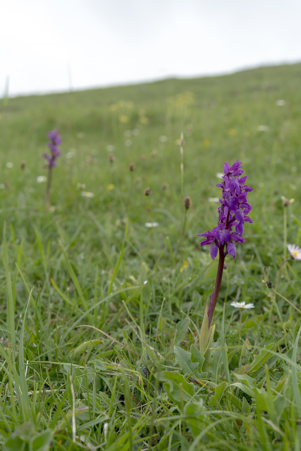 derbyshire middleton top countryside orchids