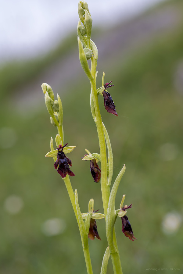 Fly Orchids near Hopton Quarry Edge