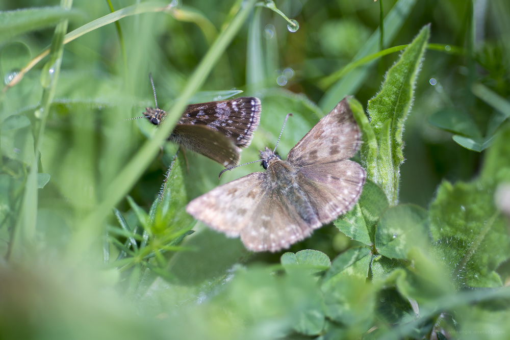 Derbyshire insects butterflies nature