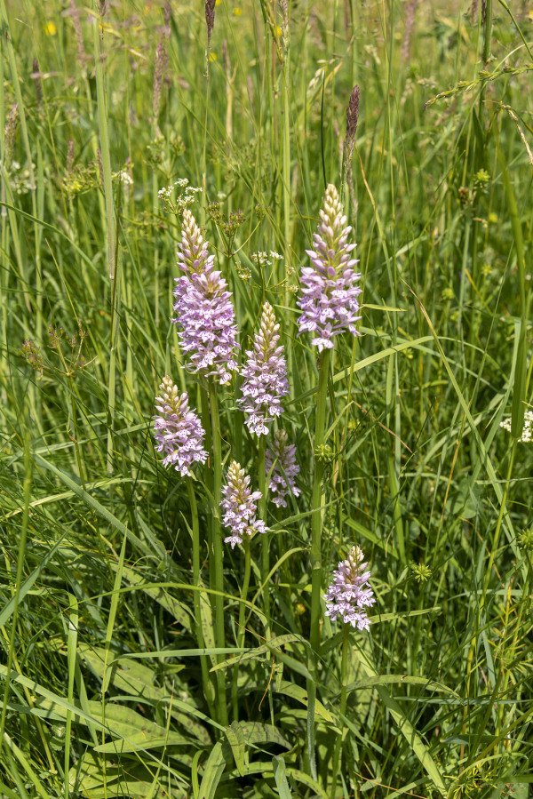 Group of Common Spotted Orchids