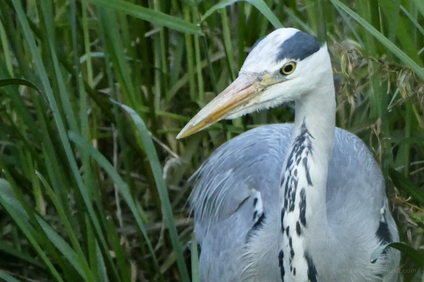 a heron from my boat window